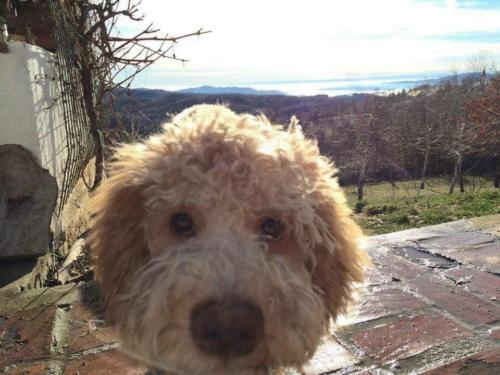 Lagotto's Peak Litter A (15.09.2013)