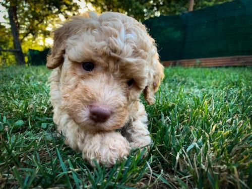 Lagotto's Peak Litter J (25.05.2019)