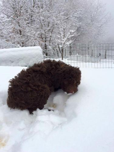 Lagotto's Peak Litter B (24.11.2014)
