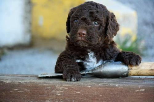 Lagotto's Peak Litter C (17.02.2016)