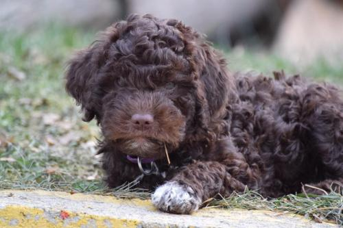 Lagotto's Peak Litter D (08.10.2016)