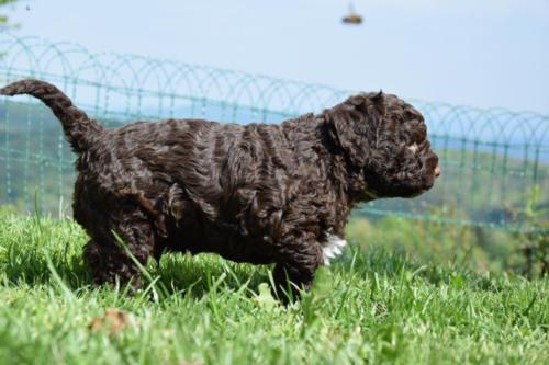 Lagotto's Peak Litter E (26.03.2017)