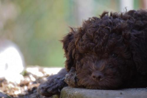 Lagotto's Peak Litter F (08.09.2017)