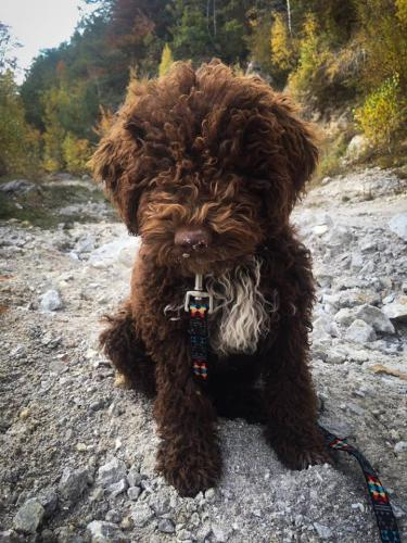 Lagotto's Peak Litter H (22.06.2018)